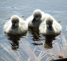 Centennial Park Cygnets 1 by Paul Todd