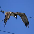 Osprey's Wire Drop by DARRIN ALDRIDGE