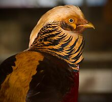 Golden Pheasant by Sandra Chung