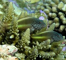Hawkfish pair by Dr Andy Lewis