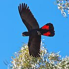 Cocky over Head                            Wilcania NSW by Stephen Quennell