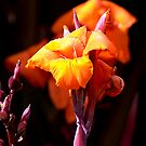 Canna Lily by Bob Wall