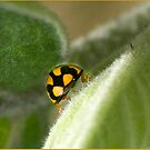 Lady Beetle, Mission Beach , FNQ by Susan Kelly