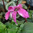 Cyclamen after the rain by Lynn Bolt