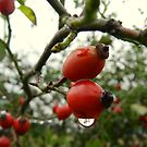 Red berries in the rain! by weecritter