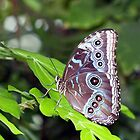Owl Butterfly by vette