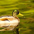 Duck by vasu