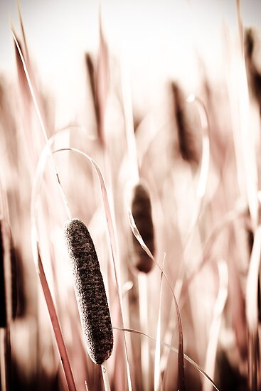 Cattails  by Jen Wahl