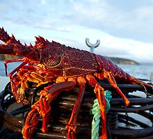 Big Crayfish on a Pot at Marion Bay in Tasmania by andychiz