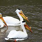 Three Pelicans by Alyce Taylor