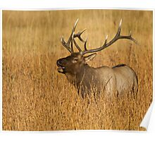 Bull Elk - Yellowstone National Park Poster