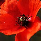 Poppy by NJMphotography