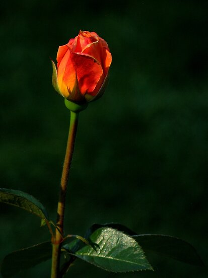 Roses Of Portland ~ Part Six by artisandelimage