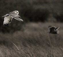 Two Short-eared Owls Hunting by Nigel Tinlin