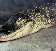Young Gator by Cynthia48
