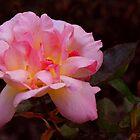 Evening rose by Ulla Vaereth