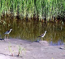 Black-Necked Stilts by Larry Baker