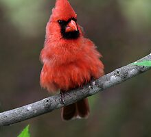 King Of Hearts I I/ Northern Cardinal by Gary Fairhead