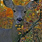 Mule Deer in Autumn Woods by Michael Collier