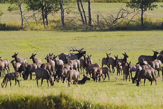 The elk are bugling in western Montana by amontanaview