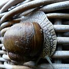Snail in Disguise by HeklaHekla