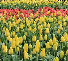 Tulip Time at Bowral by ©Josephine Caruana