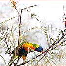 Rainbow Lorikeet 2- Herberton FNQ  by Susan Kelly