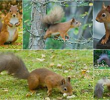 Red Squirrels Of Rothiemurchus by Jamie  Green