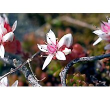 Plant, English Stonecrop, Sedum anglicum, Flowers Photographic Print