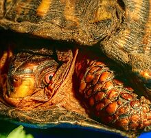 Box Turtle by laurie13