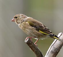 Greenfinch by Tom Curtis