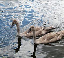Cygnets young Swans by Tom Curtis