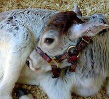 Miniature Zebu Calf by AuntDot