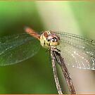 Dragonfly, Mission Beach, FNQ. by Susan Kelly