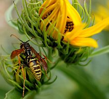 Wasp by Betsy  Seeton
