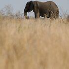 Aafrican Elephant (Loxodonta africana) in the savannah, South Africa, Kruger National Park by Sami Sarkis