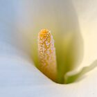 Calla Lily by gmws