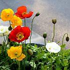 Poppies & Babies by Deborah Crew-Johnson