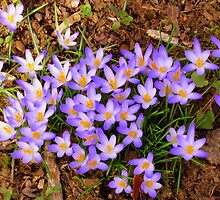 Crocus Crop by Deborah Crew-Johnson