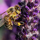 Collecting Pollen by skorphoto
