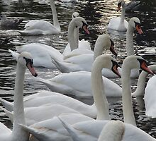 Swans on the river Exe. by bobcomet
