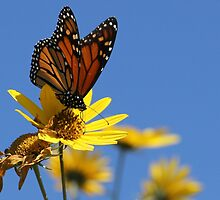 Monarch, and Clear Blue Sky by NatureGreeting Cards ©ccwri