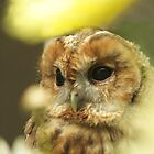Tawny Owl by Denise McDonald