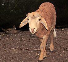 Nor Sheep, Nor Goat...Hmm..Maybe I'm a Shoat or a Geep. Peel Zoo, Pinjarra, Western Australia by Toni Kane