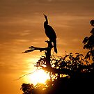 Australian Darter at sunrise, Yellow Water, Kakadu National Park by Erik Schlogl