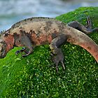 Marine Iguana (Amblyrhynchus cristatus) on rock covered with green seaweed - Ecuador, Galapagos Archipelago, Espanola Island. by Sami Sarkis