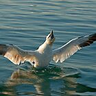 Northen gannet (morus bassanus) bathing in sea at sunrise, France. by Sami Sarkis