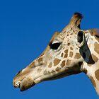 Head of a giraffe (Giraffa camelopardalis) against a blue sky. by Sami Sarkis