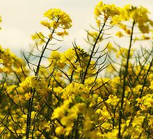 Just Canola by Maree Cardinale