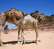 Camels (Camelus dromedarius sp.) with calves in Sinai Desert, Egypt by Sami Sarkis